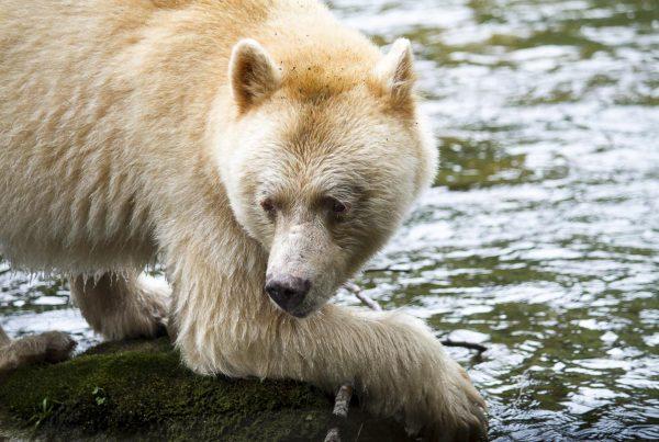 Great Bear Rainforest - Spirit Bear - September 22, 2011